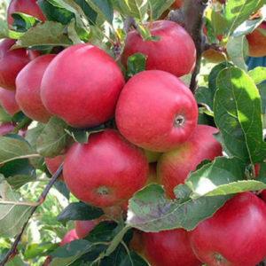 что полезно знать о яблоках